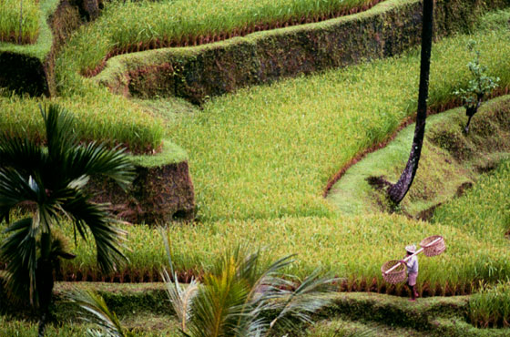 terraced paddies in Bali